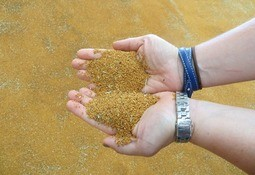 Camelina oil approved in Canada for fish feed