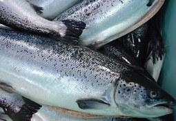 GAA revisa y pronostica la producción mundial de peces: casi se duplicó en una década