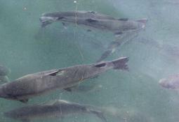 Avanza proyecto de peces biocontroladores de Cermaq Chile