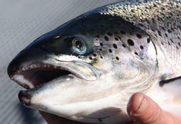 Fiskevelferd: - Hva som er forsvarlig er en faglig vurdering