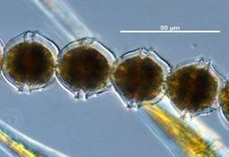 Investigan daño producido por Alexandrium catenella en células branquiales