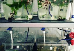 Nye metoder for levendelagring og påvekst av strandsnegl