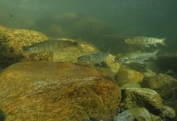 Anglers back salmon tracking project after critic's attack