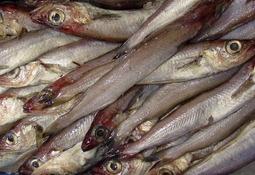 Kan fiskemel-råstoffet utnyttes til humant konsum, i stedet for til fôr?