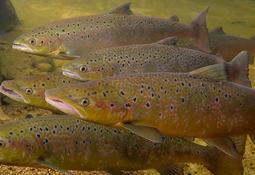 Wild salmon 'home advantage' may lessen impact of escapes