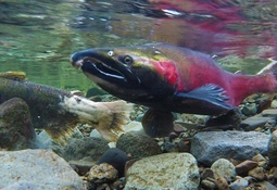 PRV is not the only cause of death in Pacific salmon