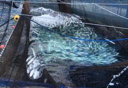 Sernapesca: Mortalidad masiva en centro salmonicultor de Chiloé
