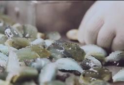 Lumarine øker   rognkjeks-produksjonen betydelig