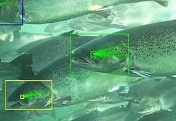 SEALAB: Kamerateknologi gir sylskarpe bilder av laksen - snart står lusen for tur