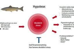 Sammenheng mellom vekst, oksidativt stress, filetfarge og produksjonslidelser