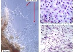 Veterinærinstituttet: Etablering av en modell for å studere gjellenes overflateceller hos atlantisk laks