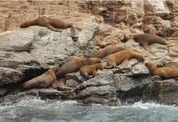 Censo para contabilizar lobos marinos está en desarrollo