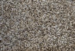 Estudian efectos de la harina de insecto en microbiota intestinal de salmónidos