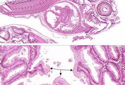 To nye virus påvist på syk rognkjeksyngel – kartlegging av betydning pågår