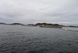 Los impactos de la mortalidad masiva de salmones en Noruega