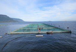 Informe sectorial: Cosechas de salmón coho se expanden 44,5%