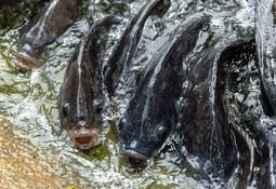 STIM vil øke satsningen på annen fiskeproduksjon