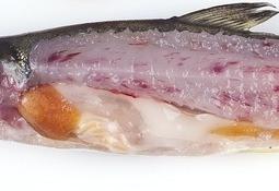 Caracterizan lipoma intramuscular en salmón Atlántico