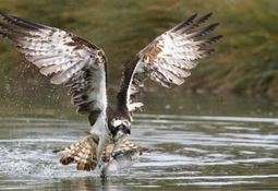Photographers hooked by trout farm's ospreys