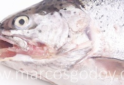 Caracterizan Tenacibaculosis en trucha arcoíris