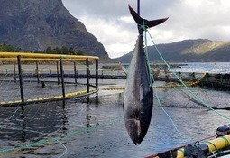 Makrellstørje gikk inn i anlegg i Trøndelag