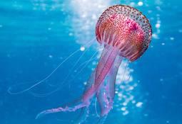 Buscan usar medusas como materia prima para alimentos acuícolas