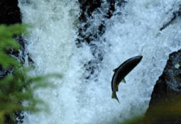 - Rømt fisk skal bort fra elvene
