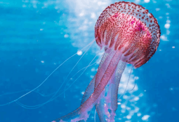 Researchers look at 'pest' jellyfish as fish feed source