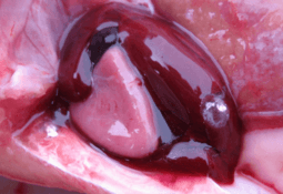 Researchers plan simpler, faster salmon heart disease test