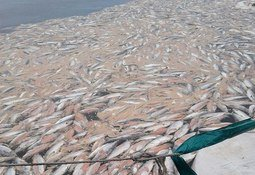 Chilenos construyen ensilaje para mortalidad masiva de salmones
