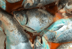 Chile: Workers warn of health threat as salmon rot in process plants