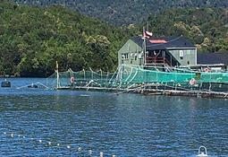 Marine Farm ha recapturado más de 7 mil salmones escapados