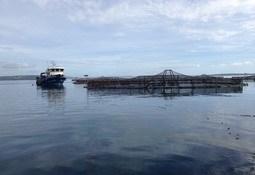 En Aysén: Investigan causas del escape masivo de peces de Marine Farm