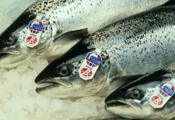 Scottish salmon exports worth extra £152m as production bounces back