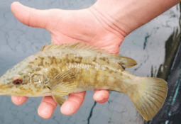Giving wrasse the right start