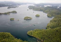 Canadá: 20 mil peces se escapan tras incendio en centro de cultivo