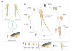Identifican posibles proteínas candidatas para vacuna contra el piojo de mar