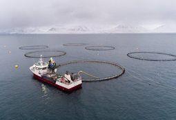 Arnarlax blames cold for 500-tonne biomass loss