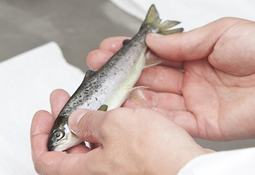 BioMar told to compensate STIM for copying SuperSmolt feed
