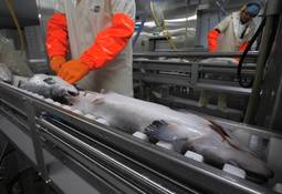 Salmon farmers consider sharing processing plants