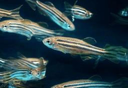 Chilenos utilizan pez cebra como modelo de infección para flavobacteriosis