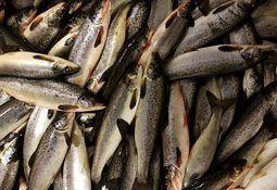 Fisk som får ro blir ikke syk av laksepoxvirus