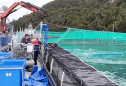 Giftig algeoppblomstring tok livet av 10 000 laks i Chile