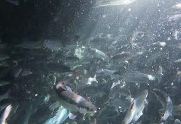 Smoltgruppe med kun hunnlaks sjøsatt i Nordfjord