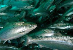 Ekspertgruppe ser ubetydelig covid-19-risiko knyttet til akvatiske matdyr
