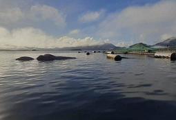 Sernapesca presenta denuncia por ballena muerta en centro de cultivo