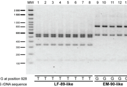 Desarrollan PCR-RFLP que permite diferenciar entre genogrupos de Piscirickettsia
