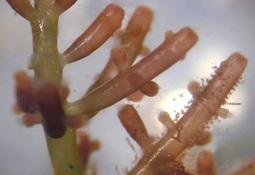 Alga roja podría estimular el sistema inmune de la trucha arcoíris