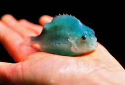 Liver colour offers insight into lumpfish welfare