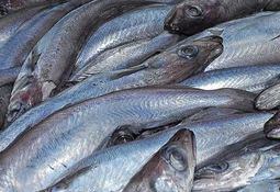Fish feed makers call for science-based quotas for 'under pressure' whiting